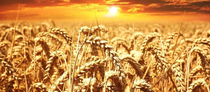 全球粮食需求将在25年内增长50%